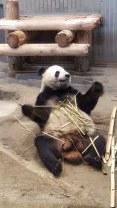 Panda RiRi Ueno Zoo